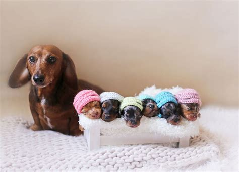 puppy photoshoot proud sausage poses with 6 tiny sausages for maternity photoshoot bored panda
