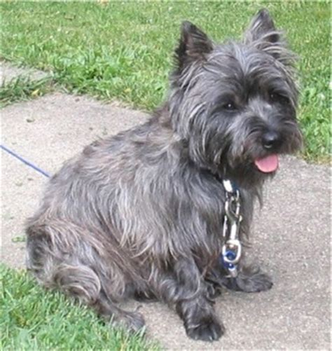 cairn terrier puppies ohio cairn terrier photos pictures cairn terriers page 4