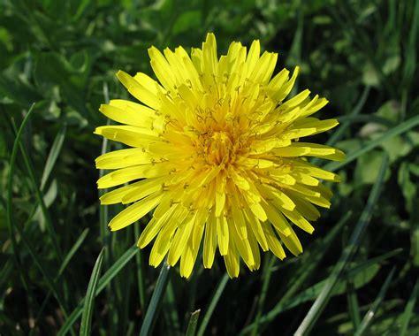 fiori dente di tarassaco propriet 224 mirate per la funzionalit 224