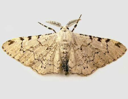 moth photographers group – thyrinteina arnobia – 6772