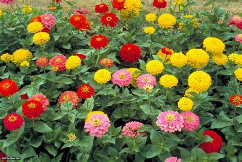 zinnia fiore zinnia flowers hgtv