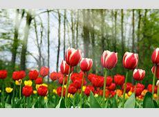 10 Tulips Flower Wallpaper For Your Desktop Background ... Range Rover Evoque