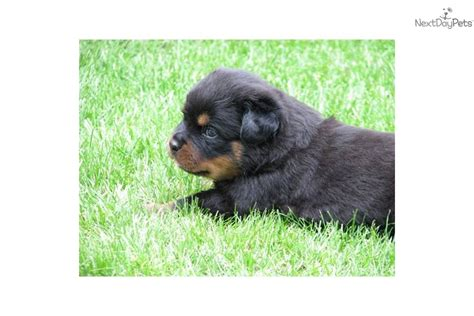 puppies for sale 100 rottweiler puppy for sale near budapest hungary 0756200f dcb1