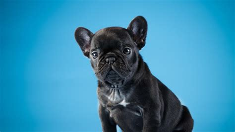 french bulldog puppy  ultrahd wallpaper wallpaper