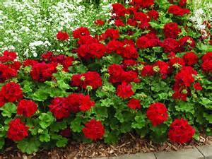 preciosa  Plantas De Exterior Resistentes Al Frio Y Al Calor #1: geranium.Calliope.Dark_.Red_.mass_.jpg