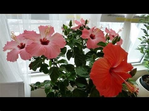 tips on hibiscus house plant care, placing, watering