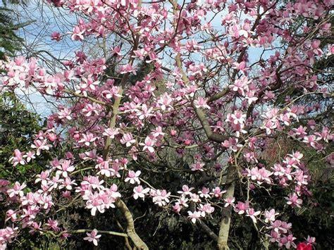 magnolia tree care how to grow healthy magnolia trees