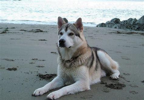 northern inuit puppies for sale northern inuit puppies for sale breeds picture