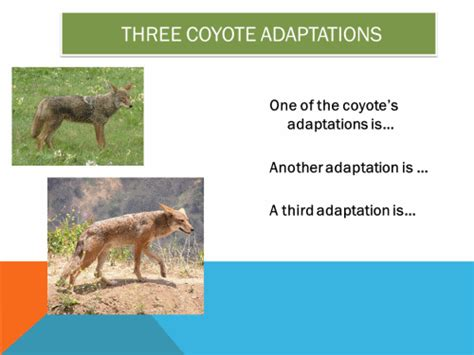 facts about coyotes for kids interesting facts about coyotes the best fact in 2018