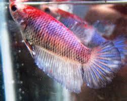 cara menghasilkan warna ungu pada ikan cupang cara mengawin kan ikan cupang dan cara membedakan cupan