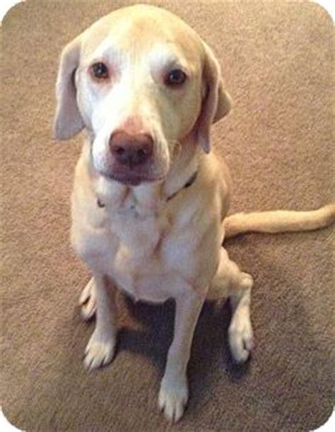 golden retriever chesapeake bay retriever mix pet not found