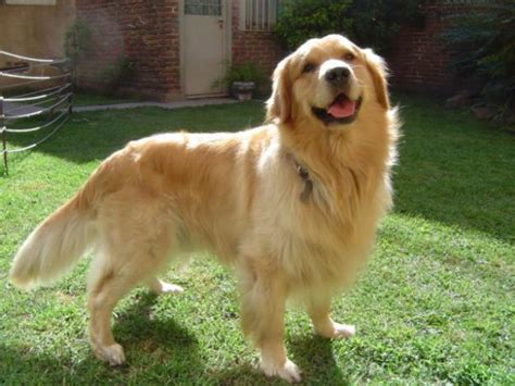 are golden retrievers labs conozca al golden retriever nombres para perros