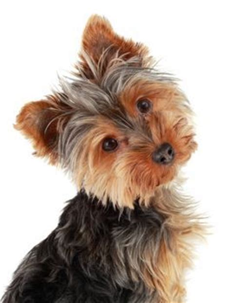 what color will my yorkie be if you got a yorkie for your b day would it be a or a boy or both and what would