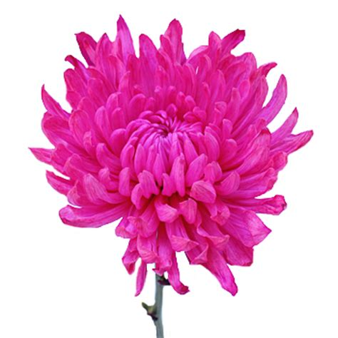 Hot Pink Flower Enhanced