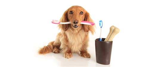 do dogs clean mouths clean as a hound s tooth oi