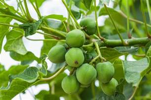 Plants Pests And Diseases - jatropha tree info learn about jatropha plant care and uses