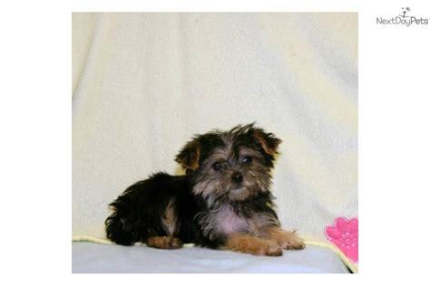 15 pound yorkie terrier yorkie puppy for sale near columbus ohio df835f8c 3721