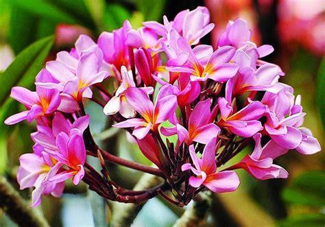 Minyak Atsiri Termahal bunga kamboja pengusir nyamuk kompas health