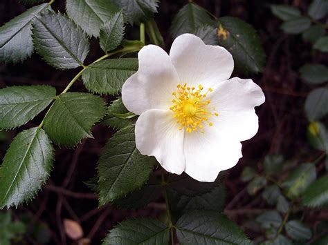 fiore definition rosaceae