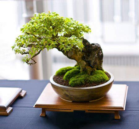 how do you bonsai christmas tree indoor bonsai trees