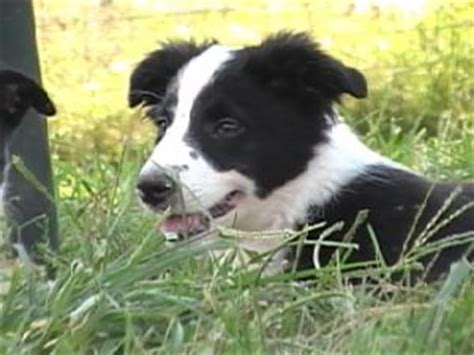 border collie puppies illinois border collie puppies in illinois