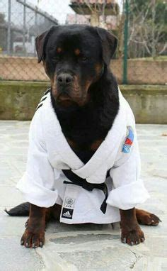 black jade rottweilers 1000 images about rottweiler on rottweilers rottweiler and