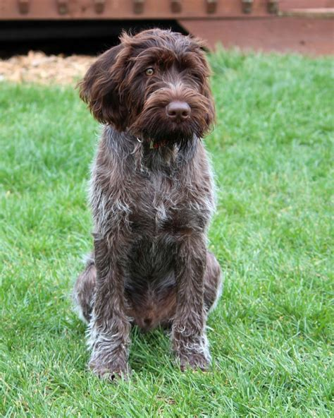Pointer Lookup 93 Best Images About Animals On Poodles Australian Labradoodle And Puppys