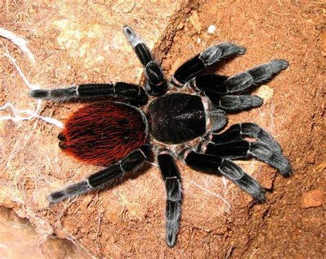 Tarantula B Vagans 1000 images about tarantulas on trees bottle and hair tarantula