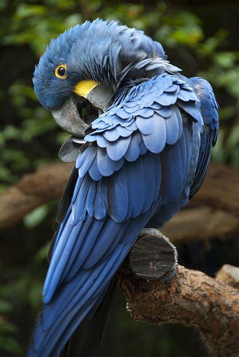 free flying hyacinth macaws dusty shutt s wildlife photography