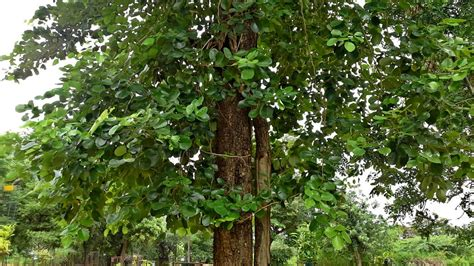 sandal tree new way to grow sandal trees could boost production