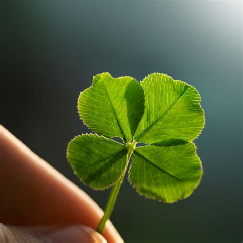 wallpaper daun semanggi about four leaf clovers reasons for finding a clover