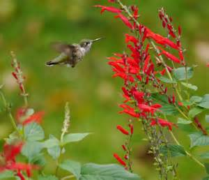 hummingbirds wintering in pennsylvania
