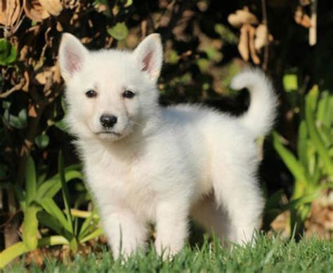 white shepherd 5 common questions about the white german shepherd animalso