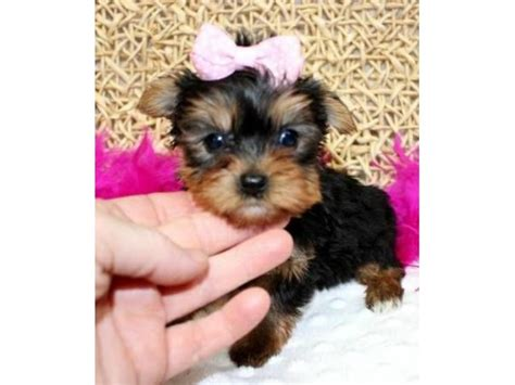 yorkie puppies new jersey yorkie puppy available animals branchville new jersey announcement 30017