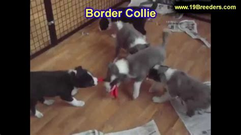 border collie puppies for sale in wisconsin border collie puppies for sale in green bay wisconsin wi eau waukesha