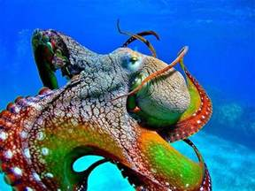 octopus colors colorful octopus octopus fascination