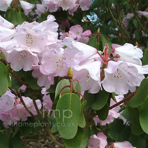 rhododendron oreodoxa fargesii information pictures cultivation tips