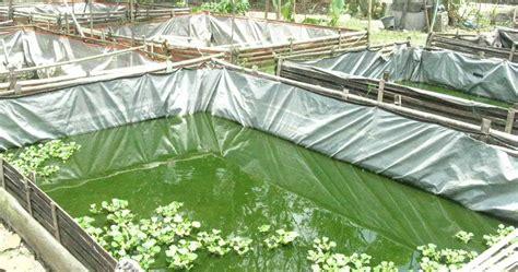 Bibit Lele Terbaru cara budidaya ikan lele di kolam terpal terbaru