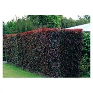 gap photos garden plant picture library photinia hedge gap photos specialising in