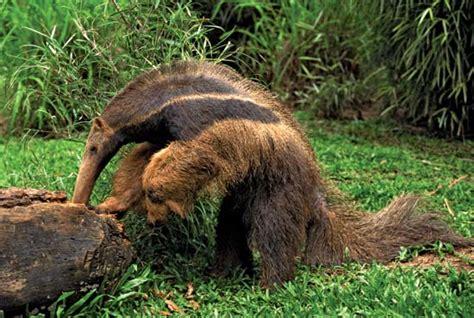 anteater mammal britannicacom
