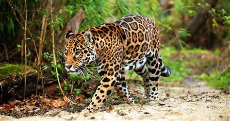 imagenes de animales jaguar jaguar pieza clave para mantener equilibrio ambiental