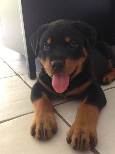 scary names for rottweilers 181 best animals images on