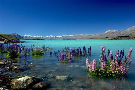 russell lupins  lake tekaponz lake tekapo    flickr