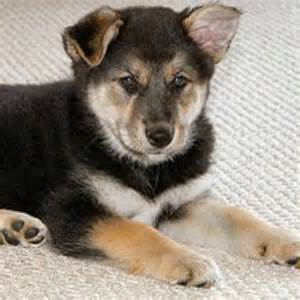 siberian husky mix puppies german shepard siberian husky mix puppy