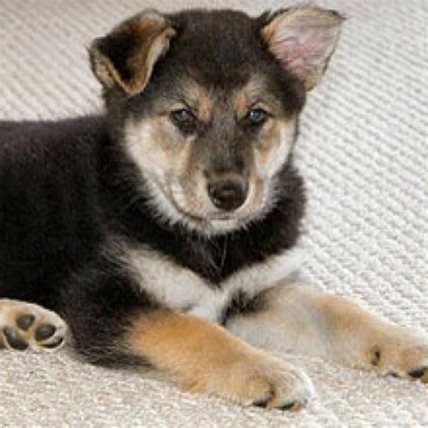 husky mix puppies german shepard siberian husky mix puppy