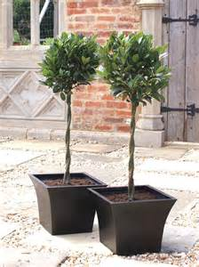 bay tree 1 2 standard with plaited stem topiary buy