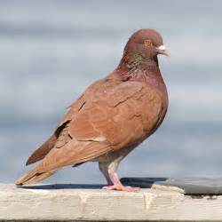 brown pigeons completely welcome here say ukip