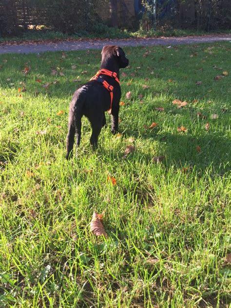labrador sucht zuhause labrador welpe sucht zuhause in herford hunde kaufen und