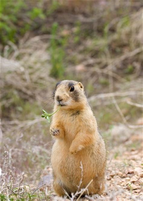 where do prairie dogs live photo by elaine miller bond 169 all rights reserved