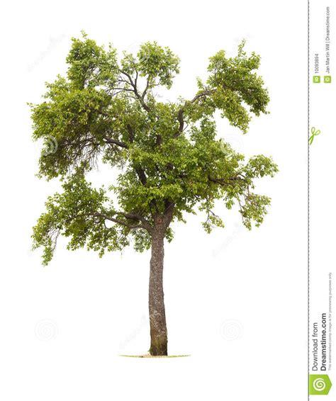 plomeria olivera 193 rbol de ciruelo aislado imagenes de archivo imagen